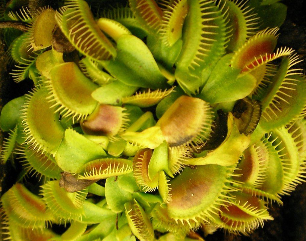 venus flytrap FAQ