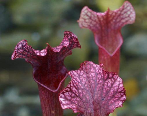sarracenia pitcher plant